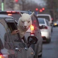 Thumb this alpaca is not happy with the neck room in his economy car